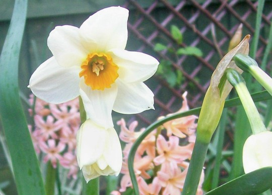 unknown daff - close up (narcissus)
