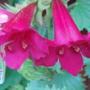Lophospermum 'Wine Red' - August 2009 (Lophospermum)