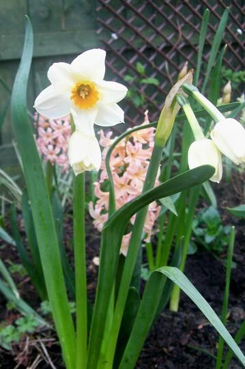 Pretty Daff (narcissus)