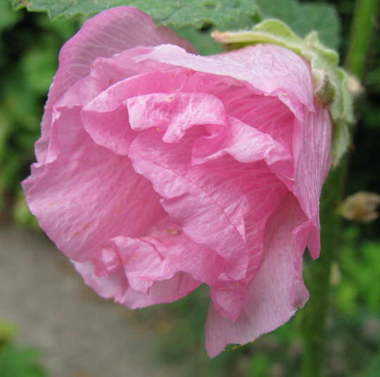 Hollyhock unfurling (Alcea rosea (Black Hollyhock))
