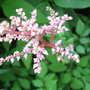 Pink Astilbe flowers (Astilbe chinensis (Astilbe))