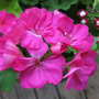 Deep pink geranium