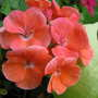 Salmon coloured geraniums