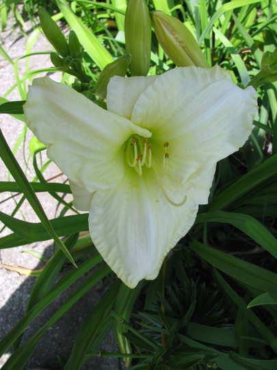 White daylily (Hemerocallis 'Cool It')