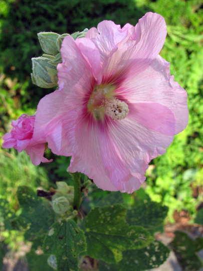 Pink hollyhock opened (Alcea rosea (Black Hollyhock))