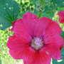 Deep pink hollyhocks (Alcea rosea (Black Hollyhock))