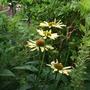 Echinacea_sunrise_