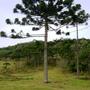 Araucaria (Araucaria angustifolia (Brazilian Araucaria))