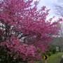Japanese Cherry (Prunus serrula (Tibetan cherry))