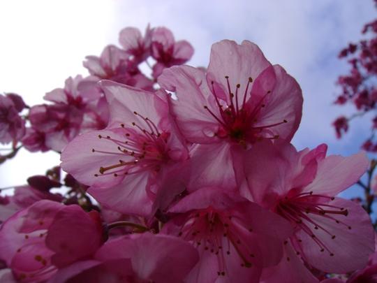 A closer view (Prunus Serrulata)