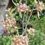 Pear Tree Blossom...