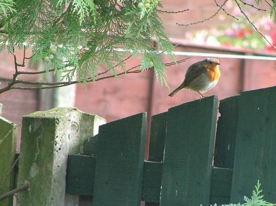 early morning robin