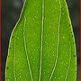 St John's Wort. Hypericum perforatum (Hypericum perforatum)