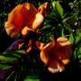 Trumpet vine (Campsis x tagliabuana)