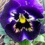purple pansy (viola)