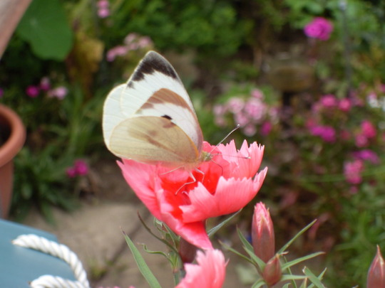 Butterfly on Pinks
