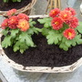Mums_potted_up