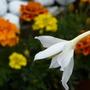 Acidanthera - mixed french marigolds at rear