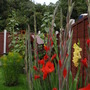 Gladioli are starting to flower