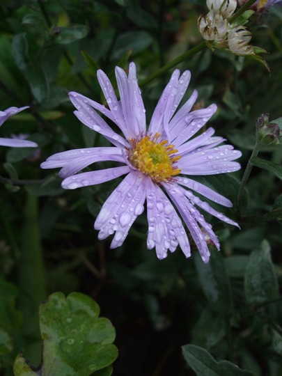 Aster amellus (Aster amellus (Aster))