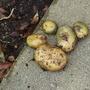 Potatoes_2