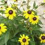 A garden flower photo (Rudbeckia fulgida (Black-eyed Susan))