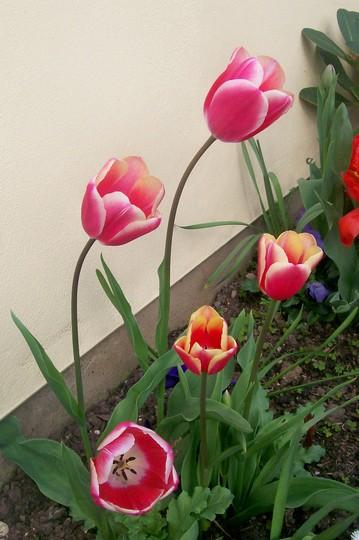 tulip44.jpg (Tulipa acuminata (Tulip))
