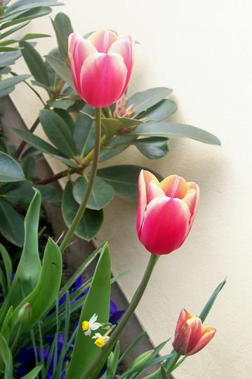 tulip45.jpg (Tulipa acuminata (Tulip))