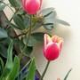 Tulip45