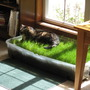 Bermuda_grass_patch_091508
