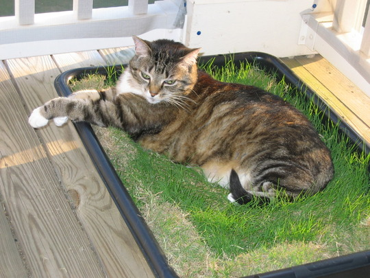 Sybil in the original grass patch (Bermuda grass)