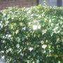 Goldheart ivy