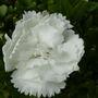 Dianthus  ' Haytor White '  for   SPRITZ ....