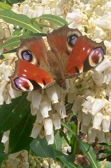 Borris the butterfly