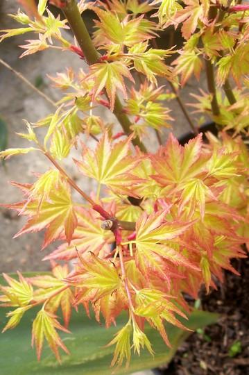 Acer41.jpg (Acer palmatum)