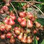wax apple (wax apple)