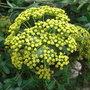 Bupleurum fruticosum (close-up) - 2009 (Bupleurum fruticosum)