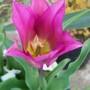 Tulip41