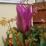 Tulip42