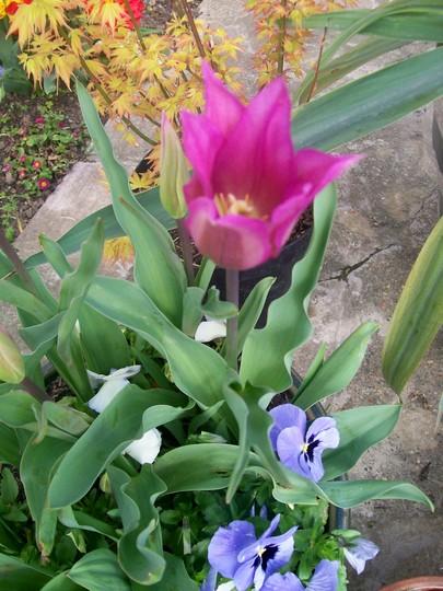Beautiful Pink/Burgandy Lily Tulip (Tulipa)