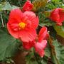 Begonia Aromatica
