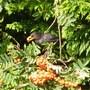 Rowan berries it is then.