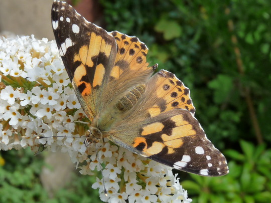 Last Painted Lady pic...too....:o)