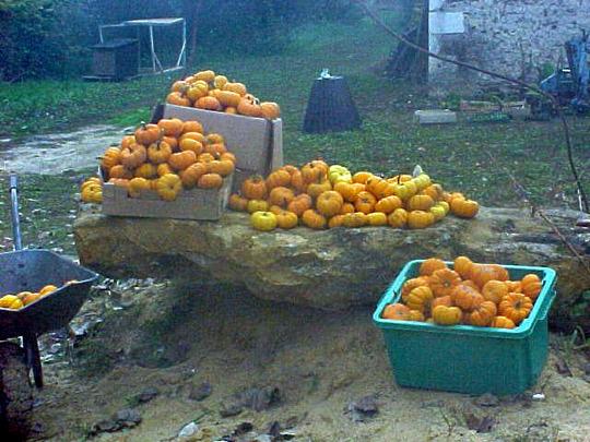 Jack Be Little pumpkin harvest, 2003
