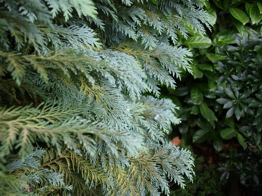 Column shaped conifer (C. lawsoniana 'Columnaris' leaf detail)
