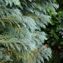 Column shaped conifer (C. lawsoniana 'Columnaris' leaf detail)