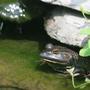 Monster Bullfrog aka King of Frogs