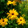 Black-eyed Susans - Rudbeckia hirta (Rudbeckia hirta (Black-eyed Susan))