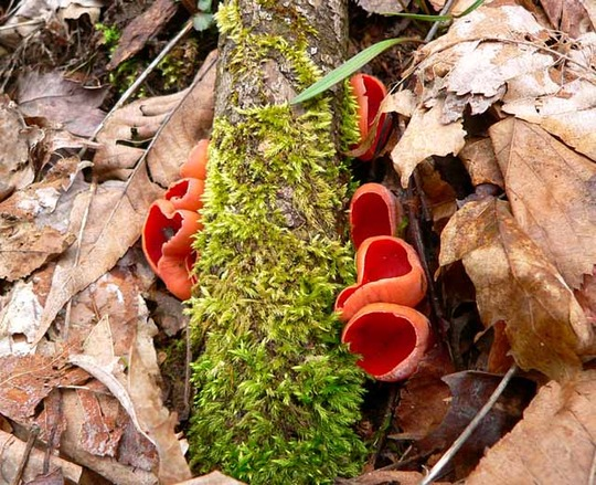 Scarlet Cup and Moss