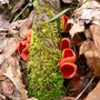 Scarlet_cups_with_moss_3_26_05_exc_sm